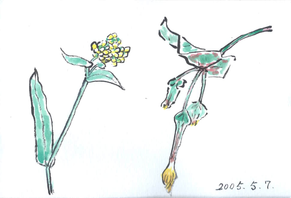 五月七日、菜の花