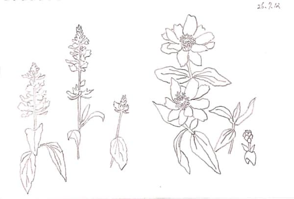 七月の花のデッサン