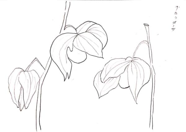 グロリオサのつぼみ
