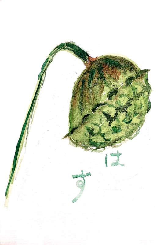 ちょっぴりグロテスクな蓮の実も、絵手紙なら。