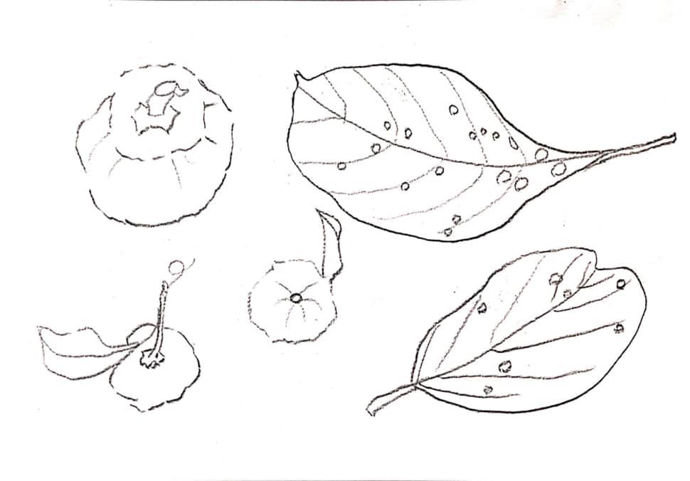 枯れ葉、柚子、柿のデッサン