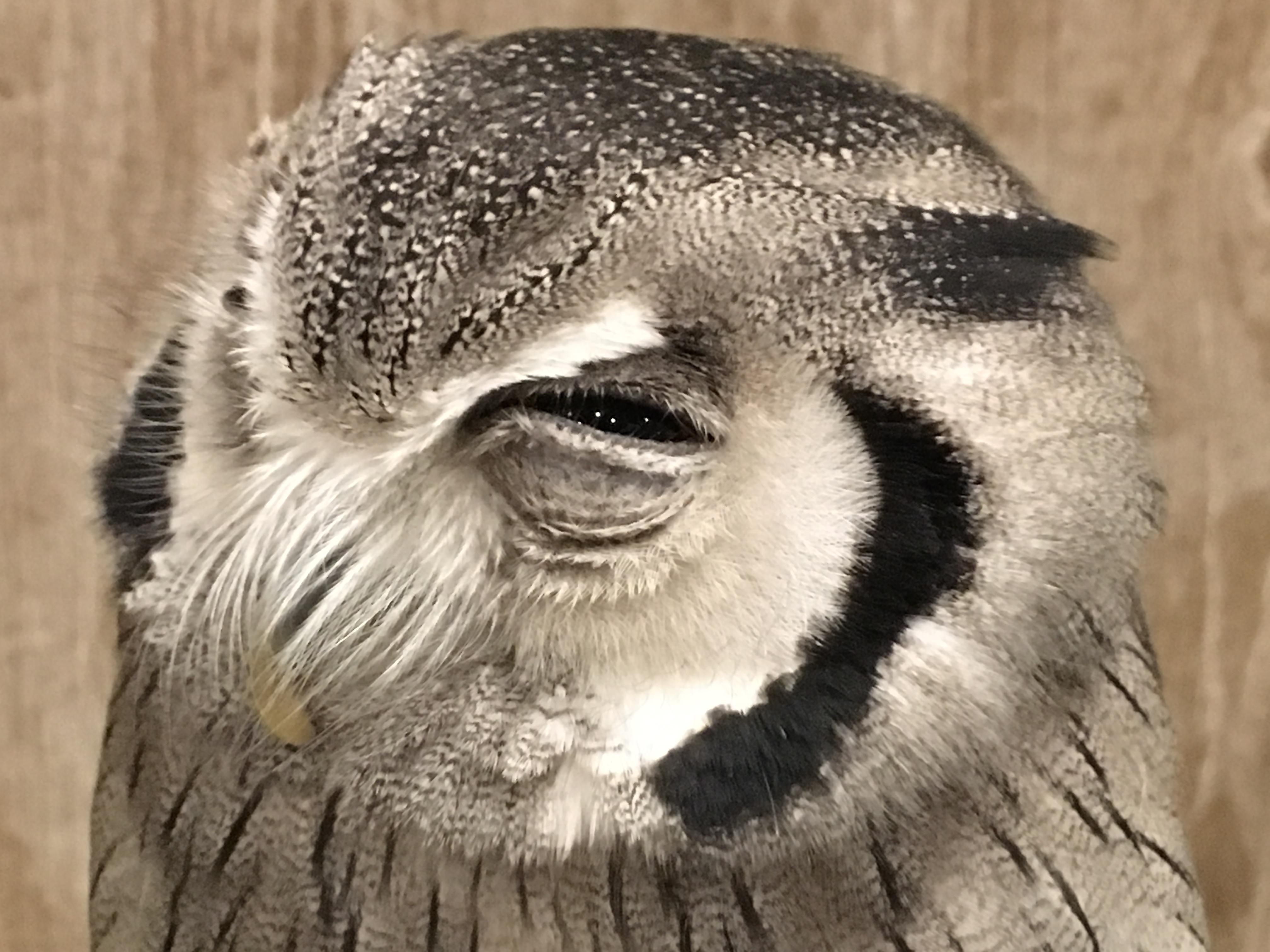 今にも眠ってしまいそうなふくろう、アフリカオオコノハズクさん