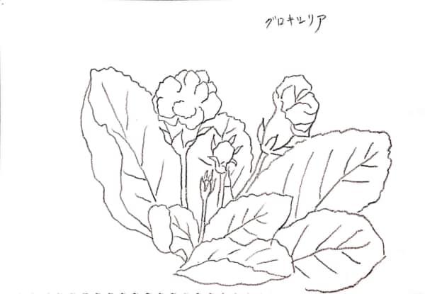 グロキシリア(大岩桐草)のデッサン