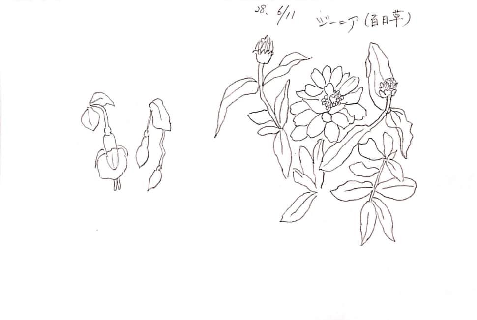 ジニア(百日草)のデッサン