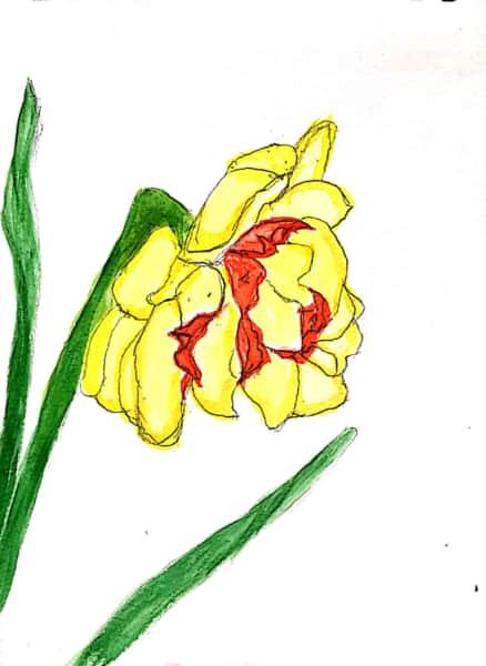 色鮮やかな、黄色い水仙