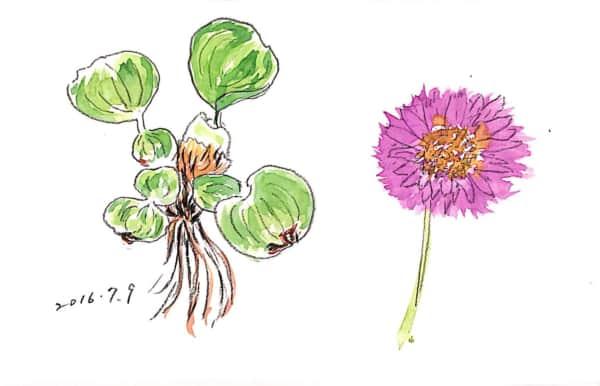 ウォーターヒヤシンスことホテイアオイと花