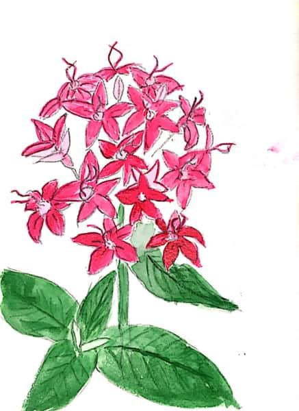 鮮やかな紅い花のデッサン