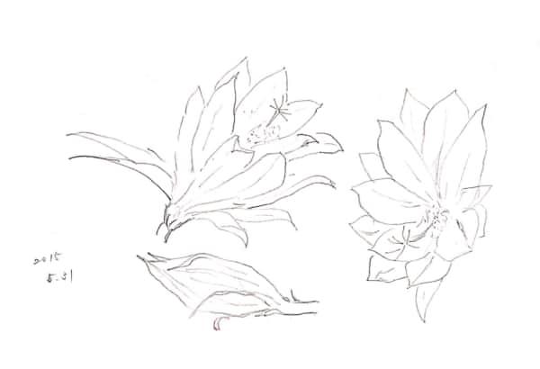 ミョウガの花のデッサン