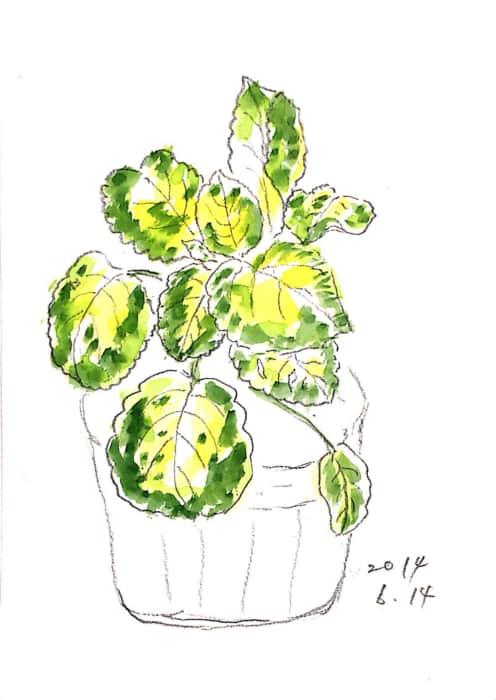 サクラソウの葉
