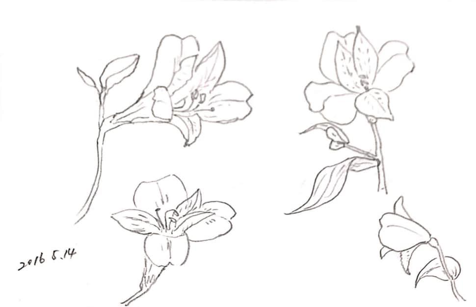 百合の花のデッサン