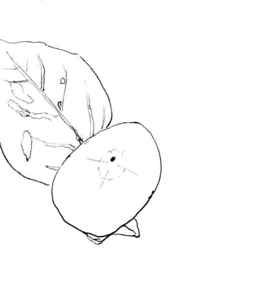 柿の実のデッサン