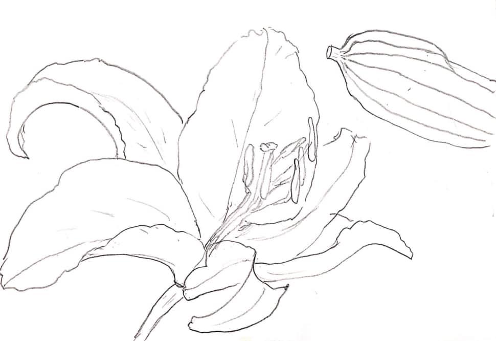 百合の花とズッキーニのデッサン