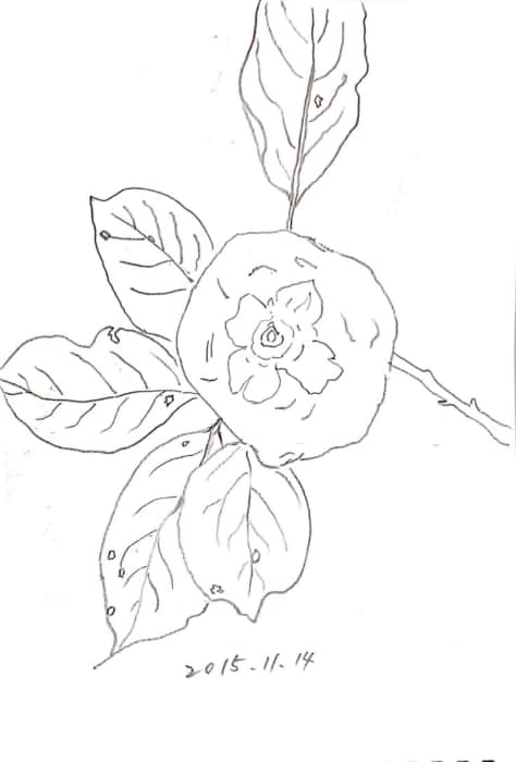 枝ごと、見事な柿。