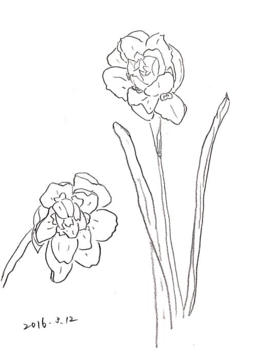 八重咲き水仙のデッサン