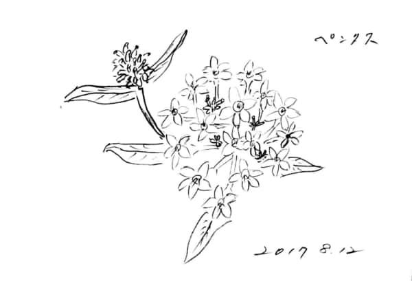 ペンタスの花のデッサン