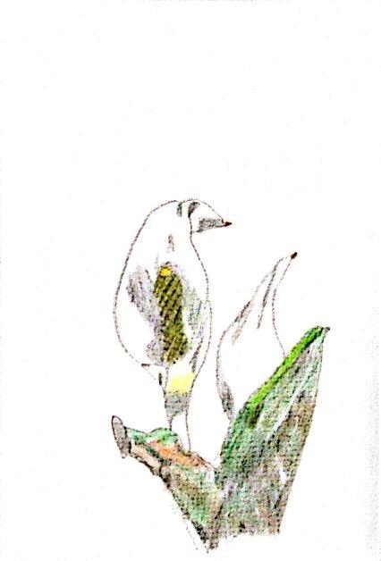 尾瀬のミズバショウ