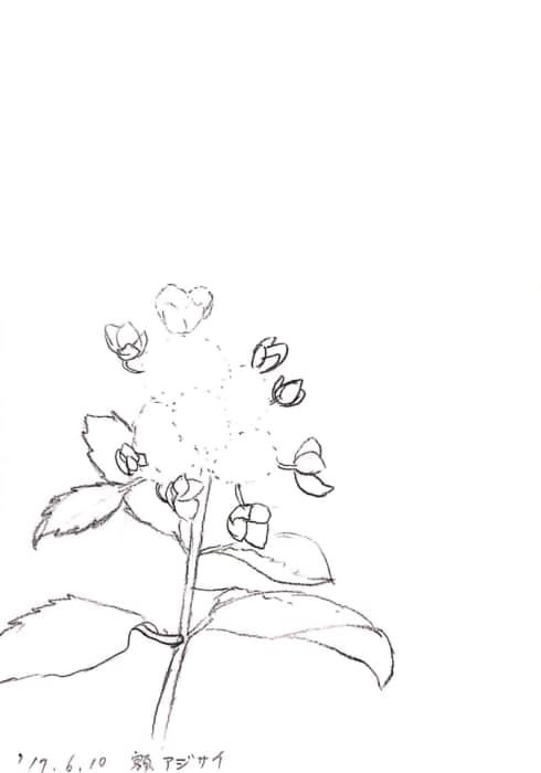 紫陽花のデッサン