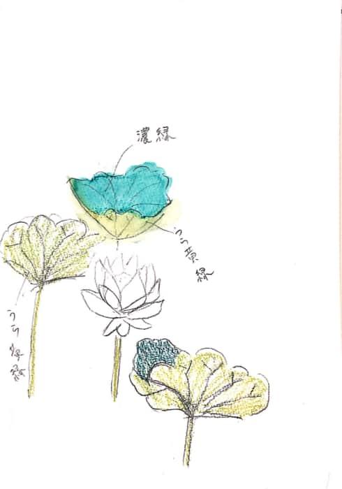 蓮の花と葉のデッサン