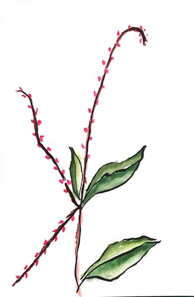 水引(水引草)の花