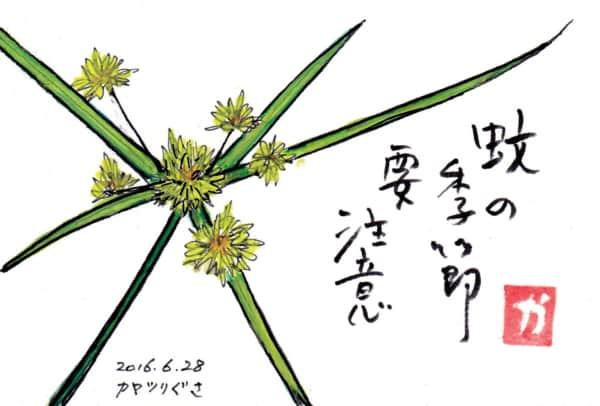 蚊の季節要注意〜カヤツリグサ〜