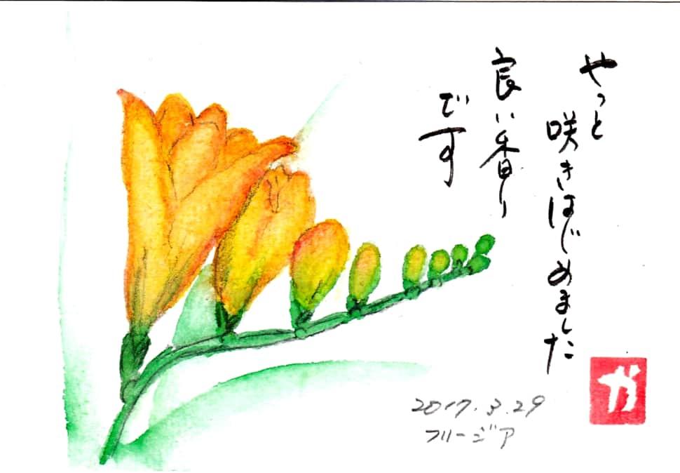やっと咲きはじめました 良い香りです 〜フリージアの花〜