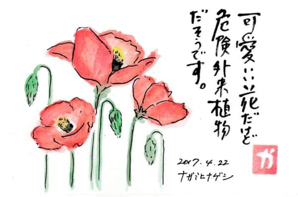 可愛い花だけど危険外来植物だそうです 〜ナガミヒナゲシ〜