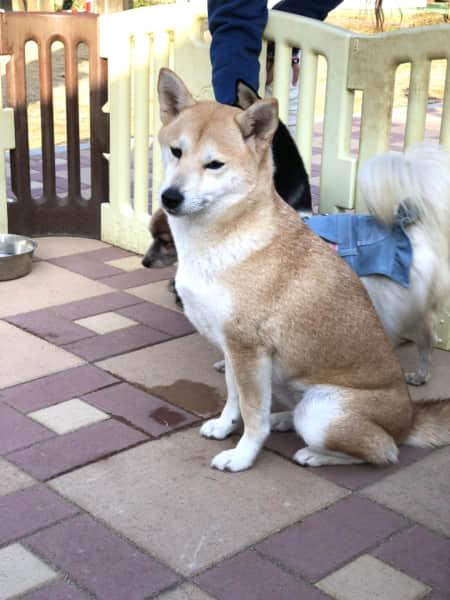 おすわりしてこちらを見る柴犬