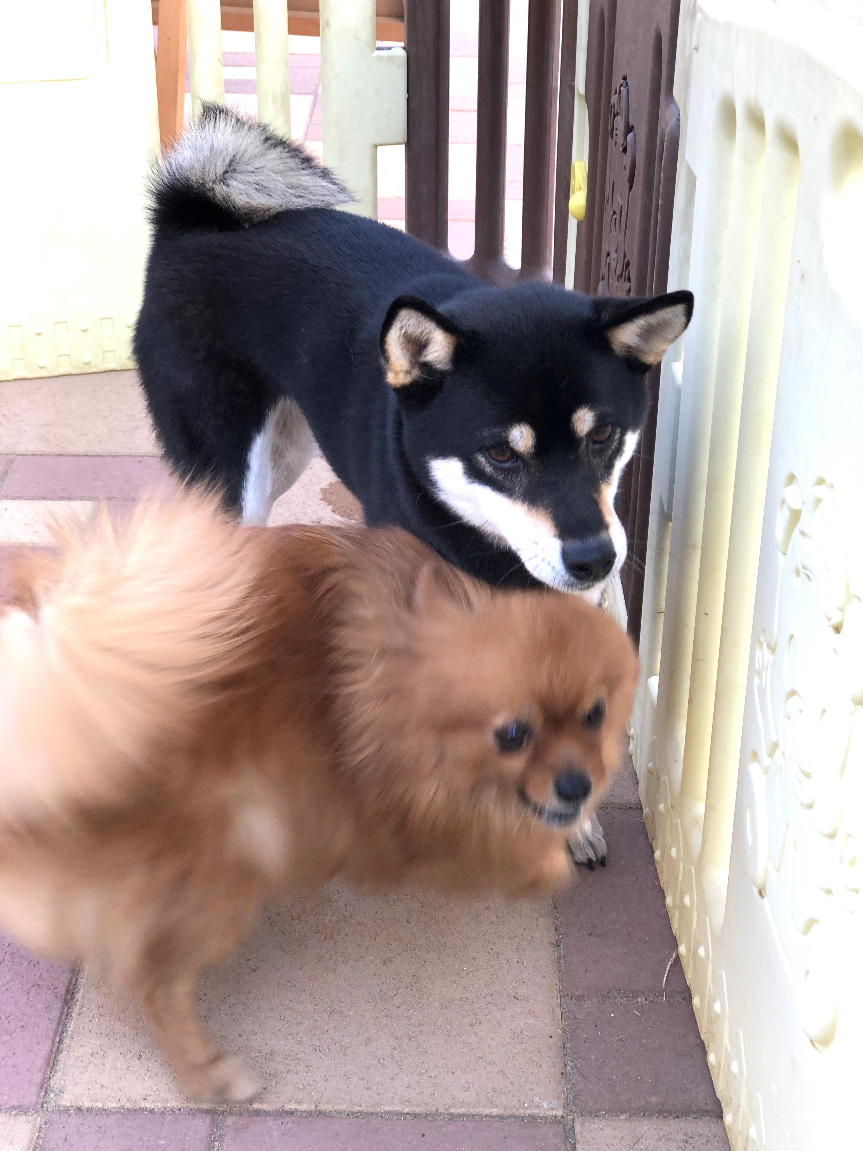 戯れるポメラニアンと柴犬