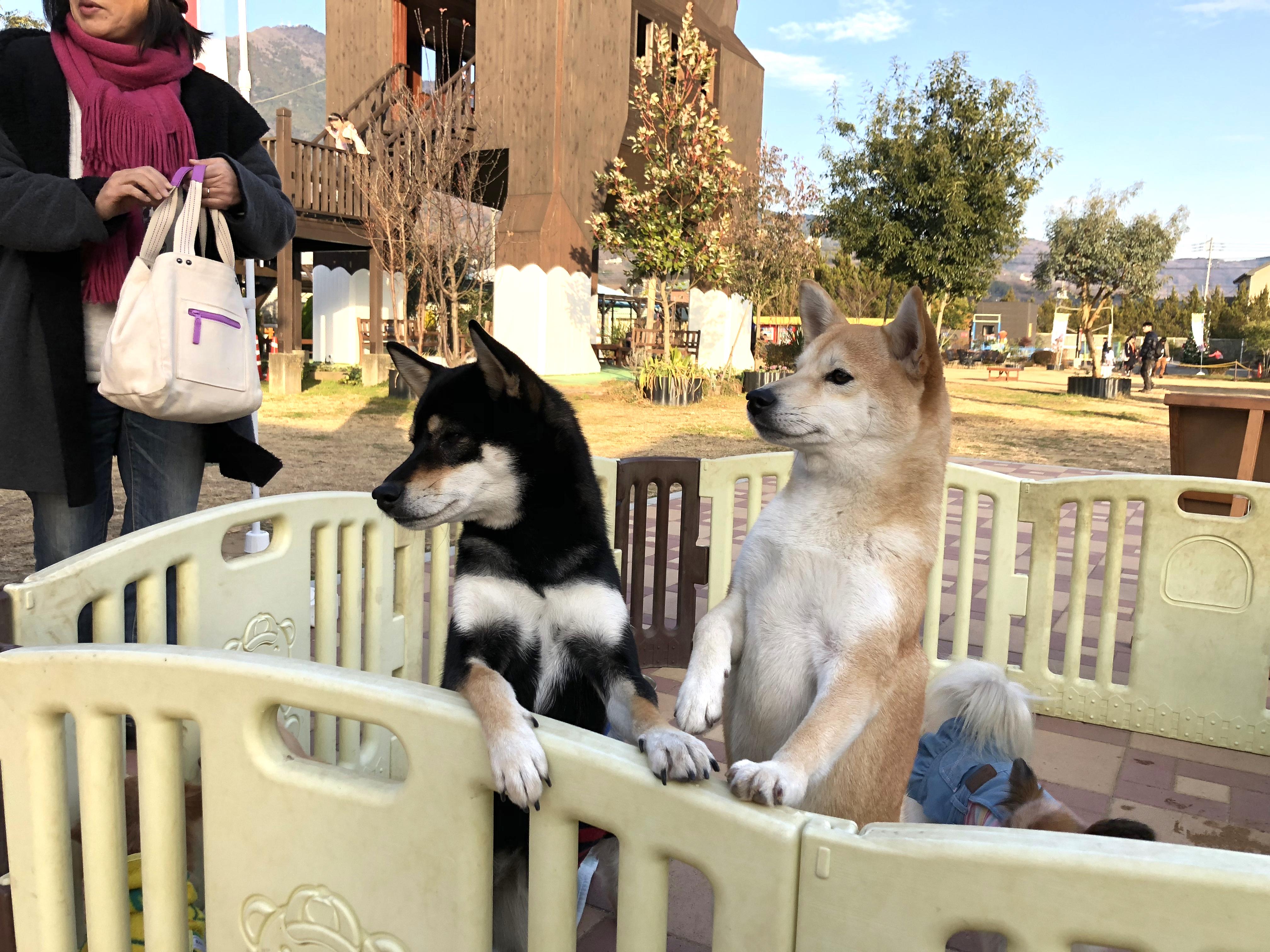 仲良く柵に手をかける黒柴と柴犬