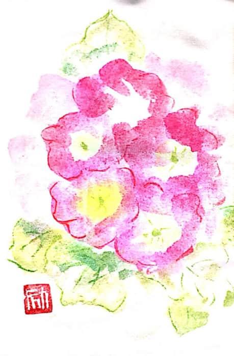 ピンク色のプリムラジュリアンの花