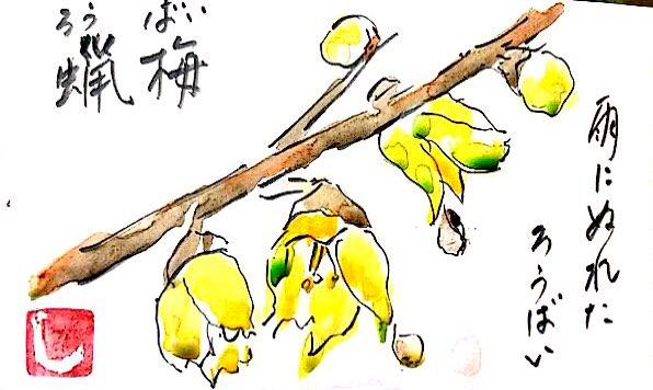 雨にぬれた蝋梅(ろうばい)