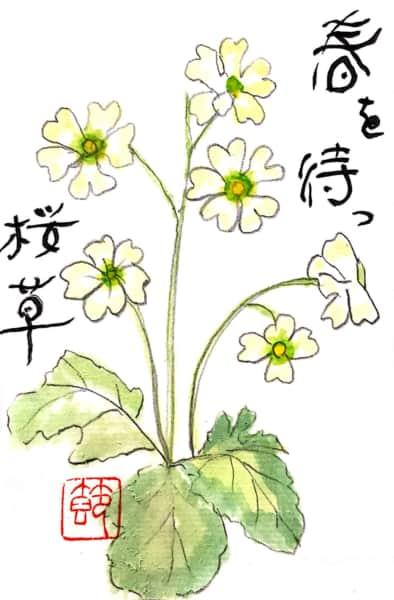 春を待つ白い桜草の花