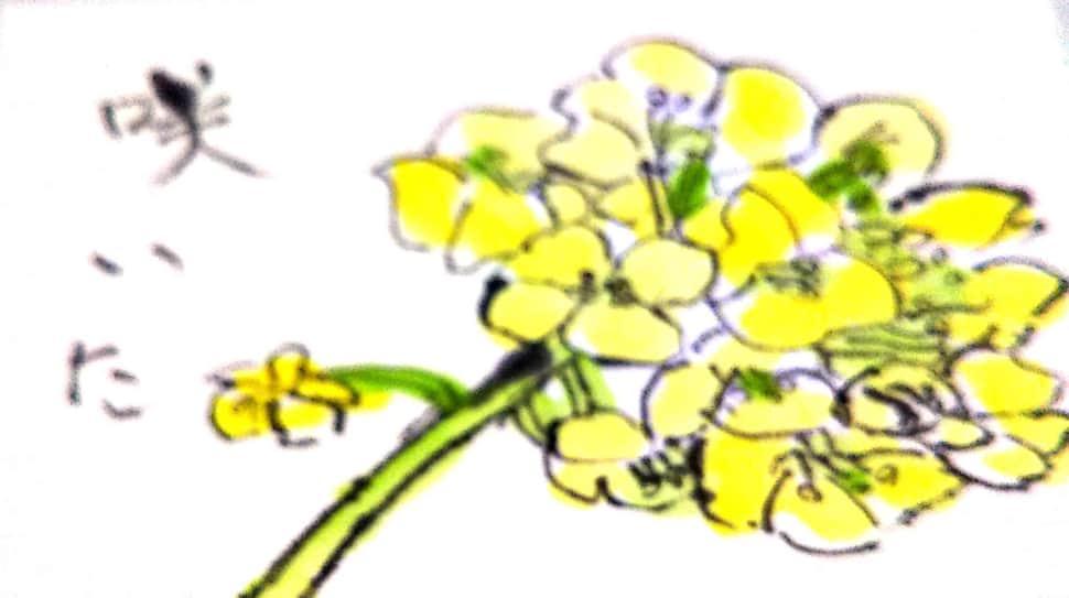 菜の花咲いた
