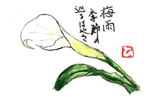 梅雨 季節の巡るはやさ 〜カラーの花〜