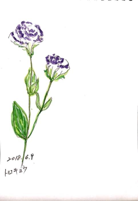 初夏のトルコキキョウの花