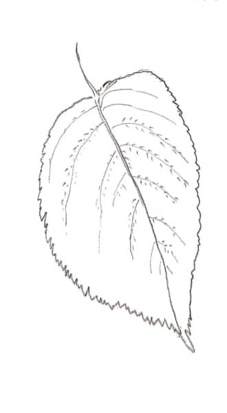 あじさいの葉
