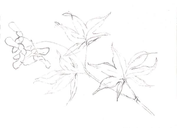もみじの葉のデッサン