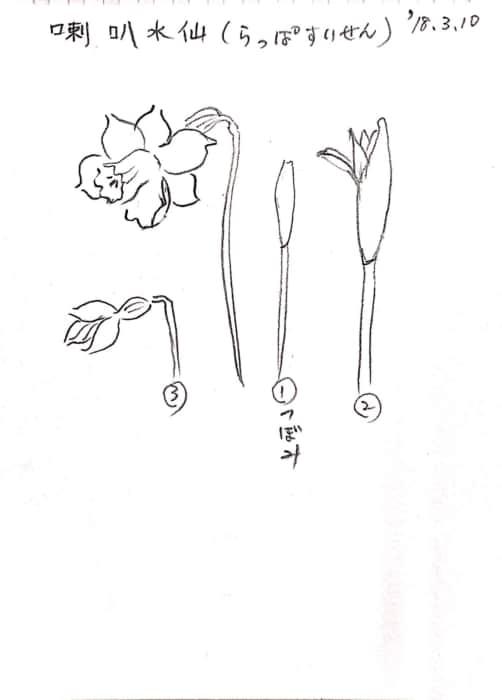 ラッパ水仙の描き方