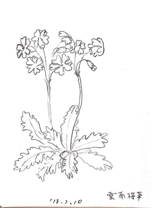 雲南桜草の花