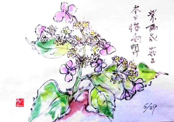 紫陽花 茄る 本日梅雨明け