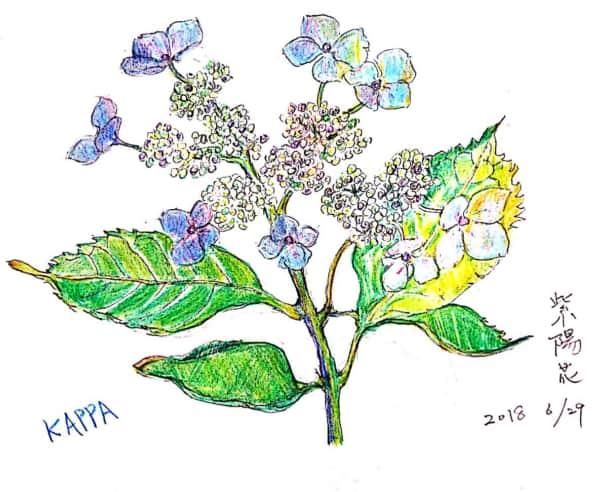 六月の紫陽花