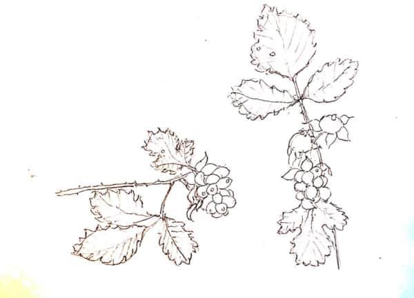 野いちごの実のデッサン