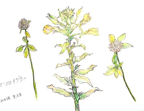 色鉛筆でマツヨイグサの花とクローバー
