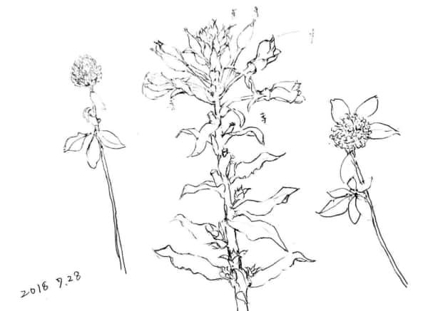 マツヨイグサの花とクローバー