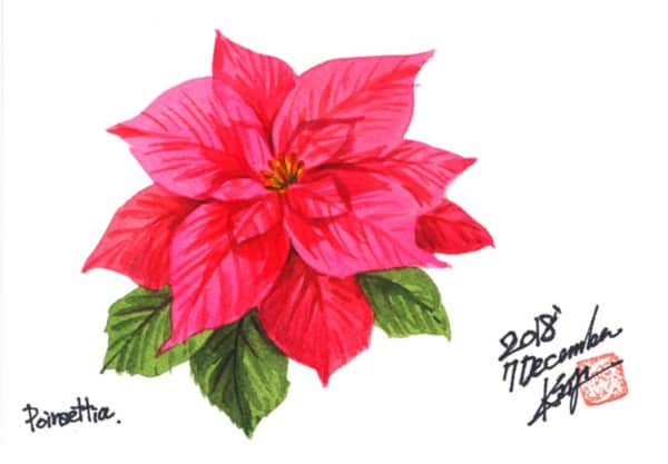 十二月のポインセチアの花