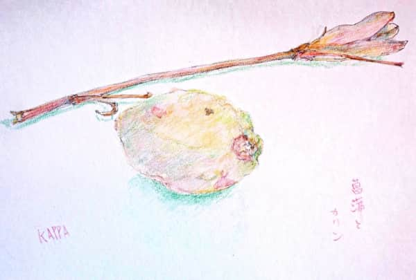 花梨の実と菖蒲の枝