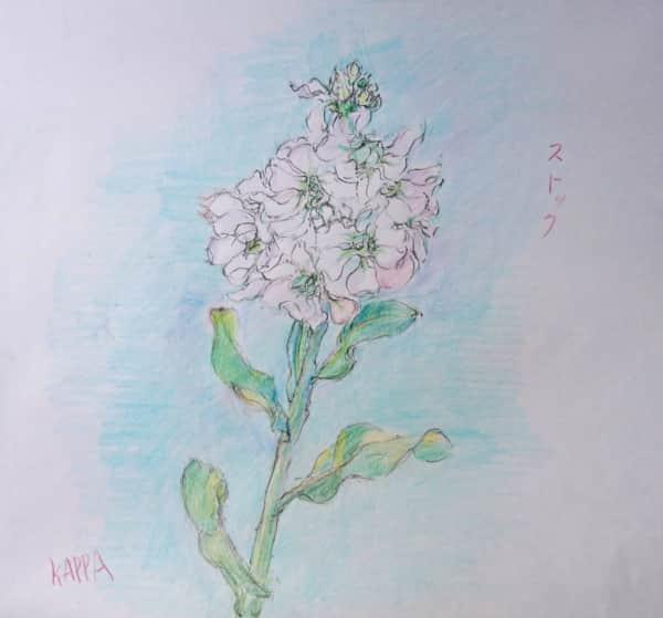 白いストックの花