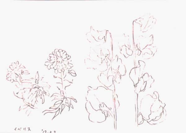 イベリスとスイートピーの花のデッサン