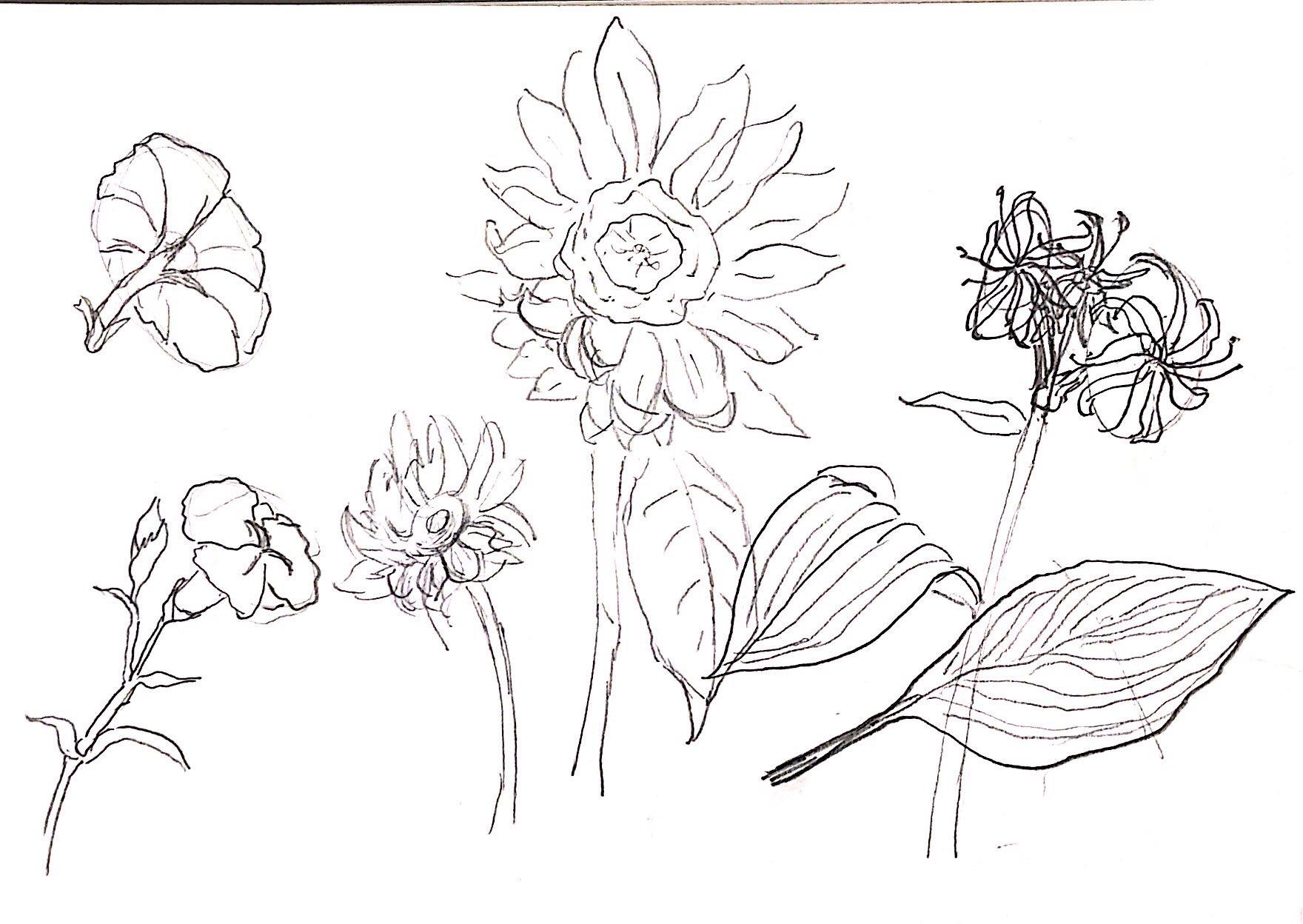 ひまわり、朝顔、オニユリ…夏の花々のデッサン