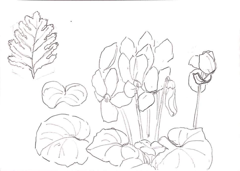 シクラメンの花のデッサン